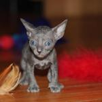 Meet 'Finnick'  solid blue kitten #1 at 5 weeks old. Reserved for the Williams family.