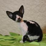 """Frankie"" - Black/white kitten #3 at 6 weeks old. Reserved for the Martinez family."