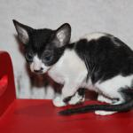 """Frankie"" - Black/white kitten #3 at 8 weeks old. Reserved for the Martinez family."