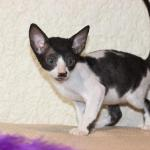 """Frankie"" - Black/white kitten #3 at 9 weeks old. Reserved for the Martinez family."