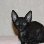 """Pippa""- Solid black kitten #5 at 10  weeks old. Reserved for the Mead family."