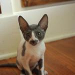"""Teaka"" - Blue/white kitten #2 at 11 weeks old. Reserved for the Yamada family."
